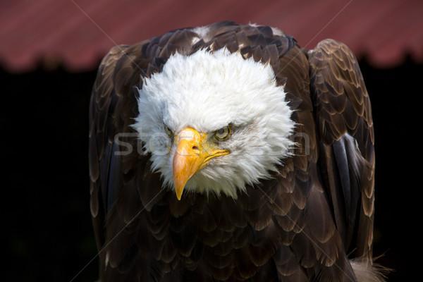 Stock photo: Beautiful north american bald eagle