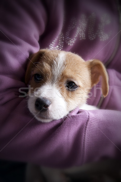 A puppy of Jack Russel Stock photo © stefanoventuri