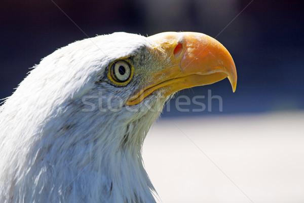 Noorden amerikaanse kaal adelaar mooie oog Stockfoto © stefanoventuri