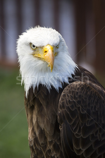 Mooie noorden amerikaanse kaal adelaar oog Stockfoto © stefanoventuri