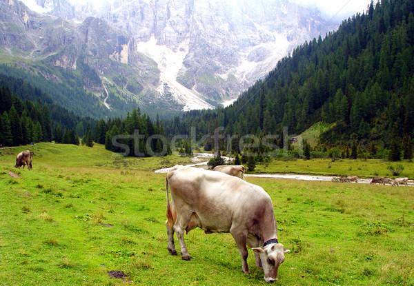 Koe groene Italiaans hemel gras Stockfoto © stefanoventuri