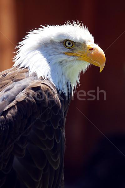 Nord chauve aigle belle oeil Photo stock © stefanoventuri