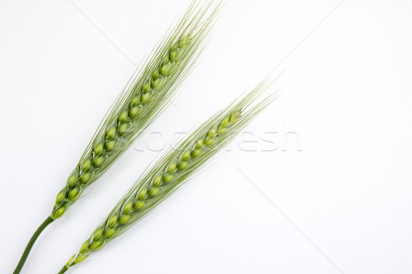 Young wheat ears isolated on a white background Stock photo © stefanoventuri