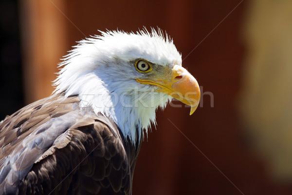 Norte americano careca Águia belo olho Foto stock © stefanoventuri