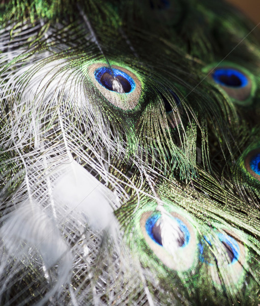Particular blanco pavo real fondo belleza aves Foto stock © stefanoventuri