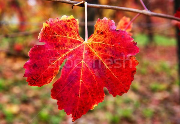 Czerwony liści jesienią wina charakter Zdjęcia stock © stefanoventuri