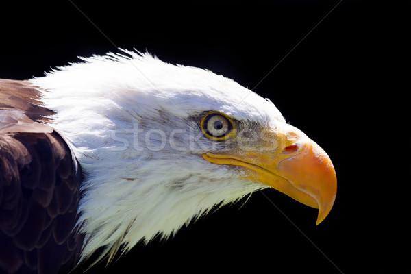 Na północ amerykański łysy orzeł piękna oka Zdjęcia stock © stefanoventuri