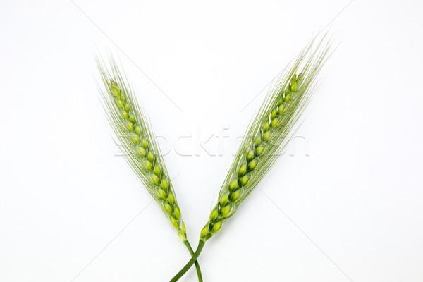 Jonge tarwe oren geïsoleerd witte natuur Stockfoto © stefanoventuri