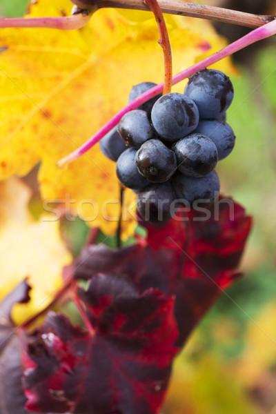 Winogron jesienią czerwony żółty pozostawia Zdjęcia stock © stefanoventuri