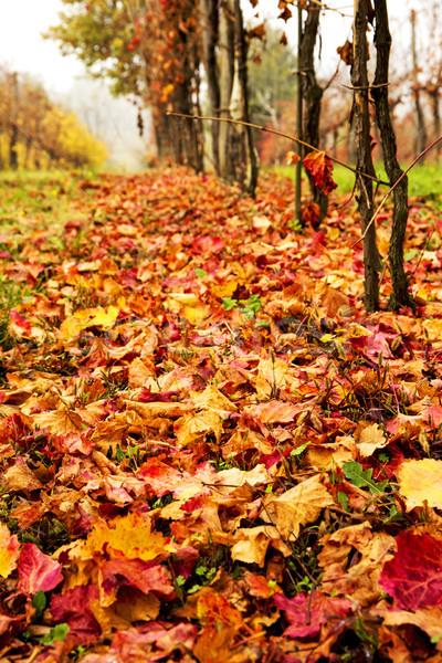 Belo colorido vinha outono vinho folha Foto stock © stefanoventuri