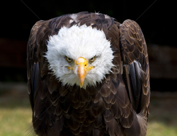 Belle nord chauve aigle oeil Photo stock © stefanoventuri