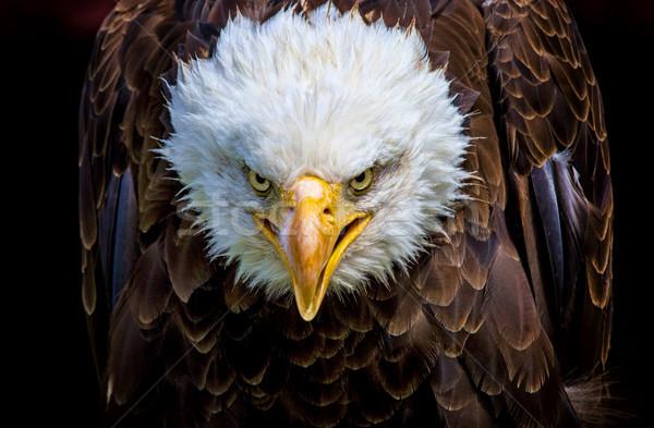 An angry north american bald eagle Stock photo © stefanoventuri