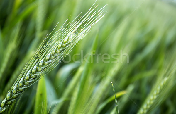 Young wheat ears in the field as a background Stock photo © stefanoventuri