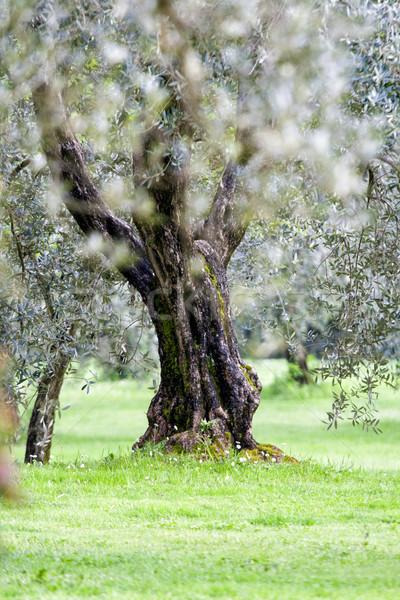 Olijfboom tuin Italië natuur achtergrond bomen Stockfoto © stefanoventuri