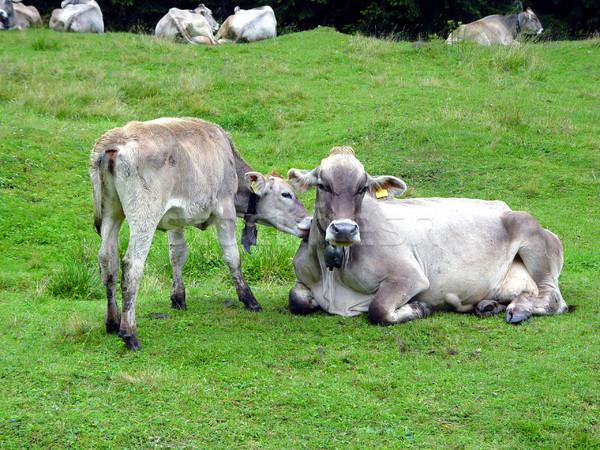 корова зеленый пастбище итальянский небе трава Сток-фото © stefanoventuri