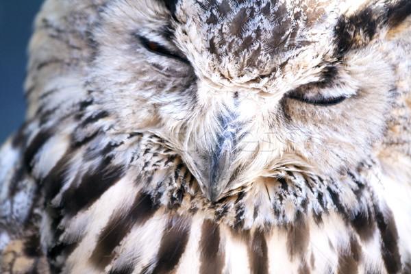 Portret oehoe gezicht oranje vogel nacht Stockfoto © stefanoventuri