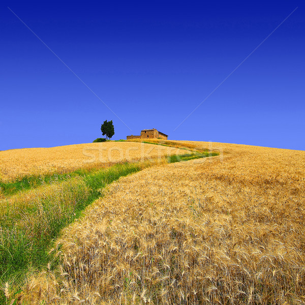 Campos ouro toscana casa verde caminho Foto stock © stefanoventuri