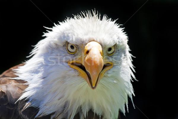 север американский лысые орел красивой лице Сток-фото © stefanoventuri