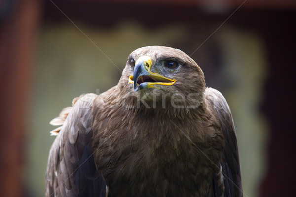 Steppe Eagle, Aquila nipalensis, detail of eagles head. Stock photo © stefanoventuri