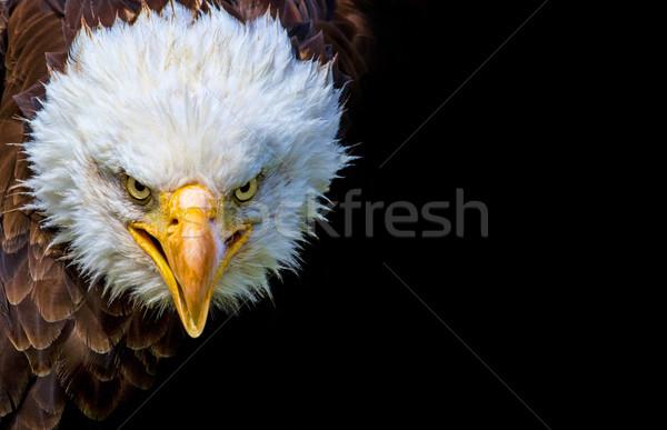 Zangado norte americano careca Águia preto Foto stock © stefanoventuri