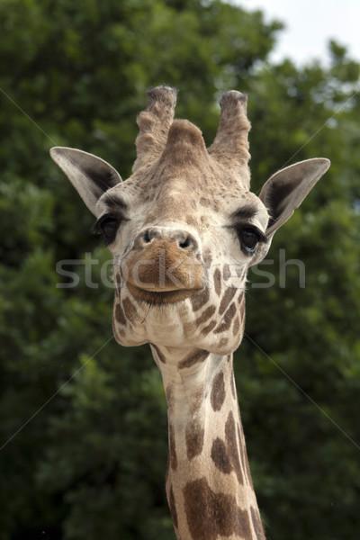 Retrato girafa África cabeça belo safári Foto stock © stefanoventuri