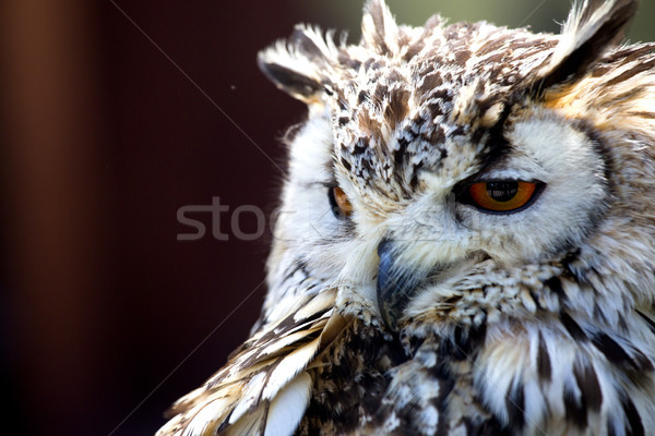 Portrait of The Eurasian Eagle Owl (Bubo bubo) Stock photo © stefanoventuri