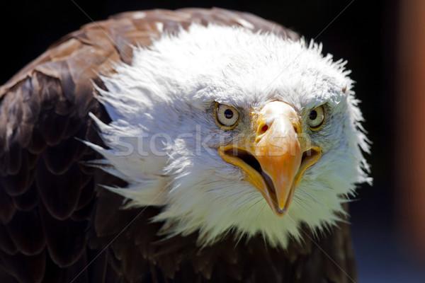 Na północ amerykański łysy orzeł piękna twarz Zdjęcia stock © stefanoventuri