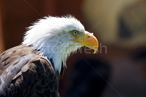 Foto stock: Norte · americano · careca · Águia · belo · olho