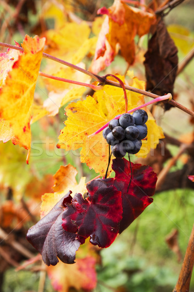 Grape closeup in autumn with red and yellow leaves Stock photo © stefanoventuri