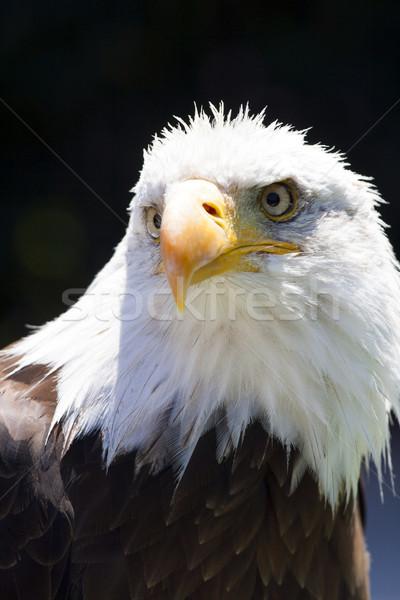 Settentrionale americano calvo aquila bella faccia Foto d'archivio © stefanoventuri