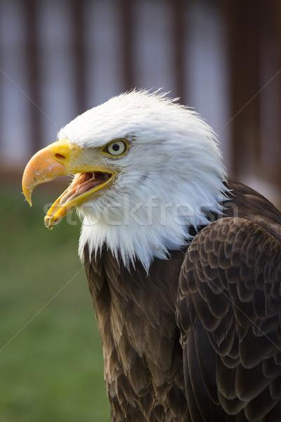 Belo norte americano careca Águia olho Foto stock © stefanoventuri