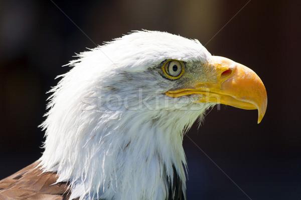 север американский лысые орел красивой глаза Сток-фото © stefanoventuri