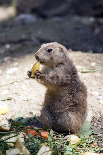 Eten grond eekhoorn natuur zomer boerderij Stockfoto © stefanoventuri