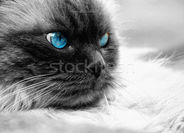 Kedi gözler güzel Stok fotoğraf © stefanoventuri