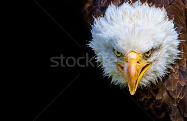 Angry north american bald eagle on black background Stock photo © stefanoventuri