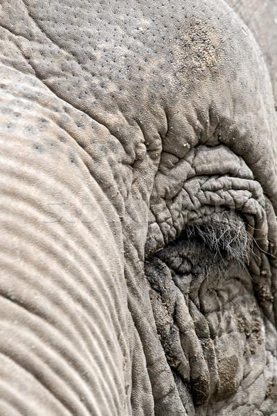 Olho elefante África parque africano bonitinho Foto stock © stefanoventuri