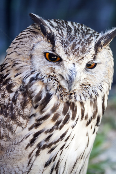 Portrait eagle owl oeil visage orange oiseau Photo stock © stefanoventuri