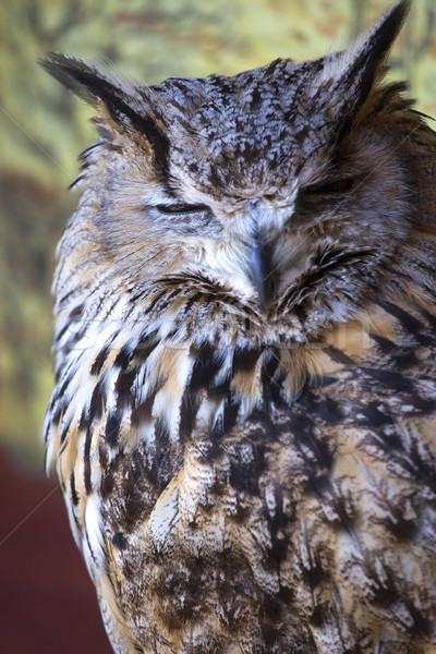 Portret oehoe ogen vogel veer dieren Stockfoto © stefanoventuri