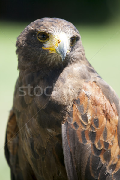 Close up of a beautiful red Hawk Stock photo © stefanoventuri