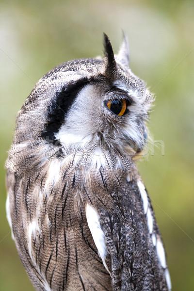 Portrait of a little white faced scops owl Stock photo © stefanoventuri