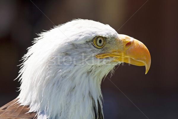 Stock photo: North American Bald Eagle