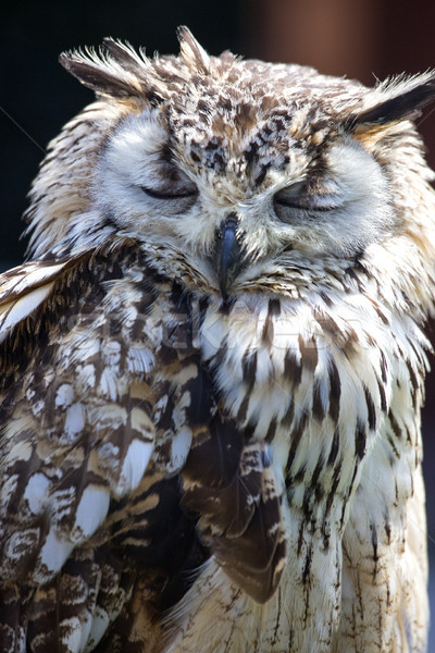 Stock photo: Portrait of The Eurasian Eagle Owl (Bubo bubo)