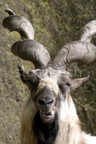 Markhor resting on a rock  Stock photo © stefanoventuri