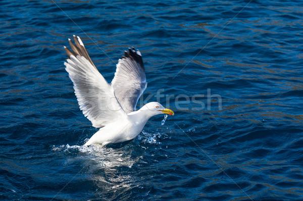 Sirály madár felszállás közelkép repülés víz Stock fotó © Steffus