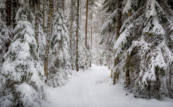 Winter forest Stock photo © Steffus