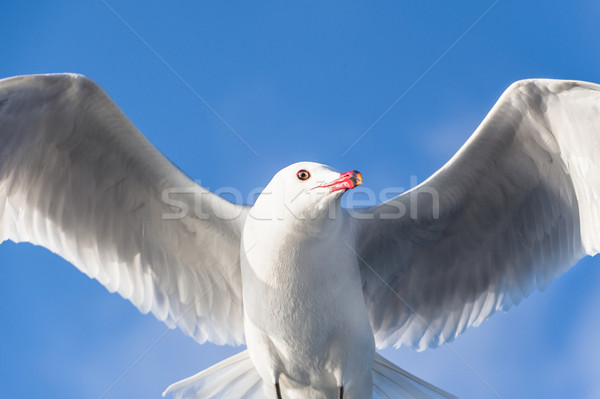 чайка птица Flying Blue Sky небе Сток-фото © Steffus