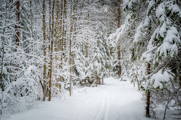 Winter pine forest path Stock photo © Steffus