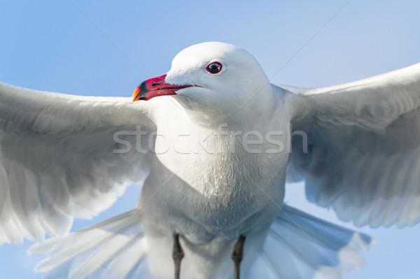 Sirály madár közelkép repülés kék ég égbolt Stock fotó © Steffus