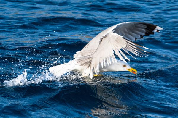 Sirály madár felszállás közelkép nagy repülés Stock fotó © Steffus
