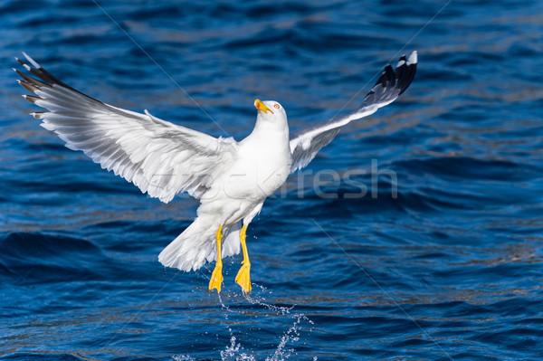 Martı kuş uçan su Stok fotoğraf © Steffus